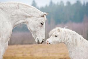 Fototapete Pferde, Shetlandpony, weißes Pferd, Wandtapete small 0